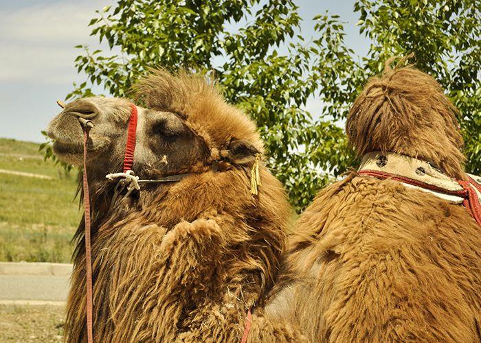 Lana di cammello